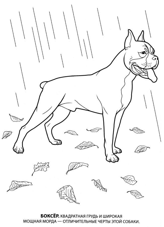 Раскраска собака Боксёр