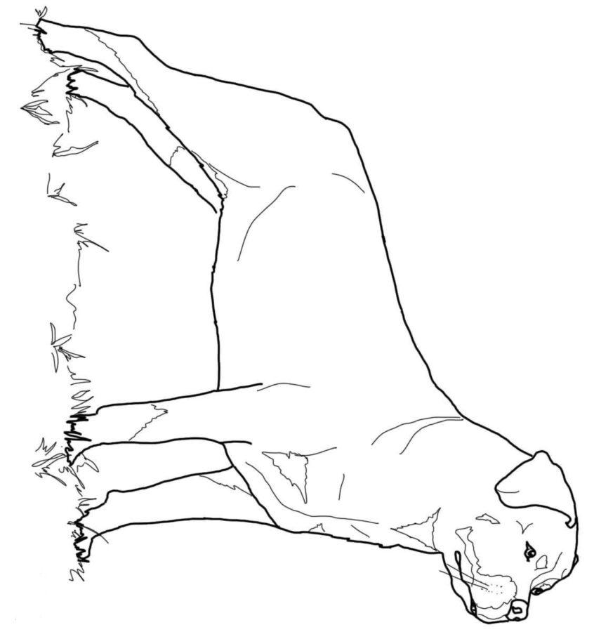 Ротвейлер раскраска