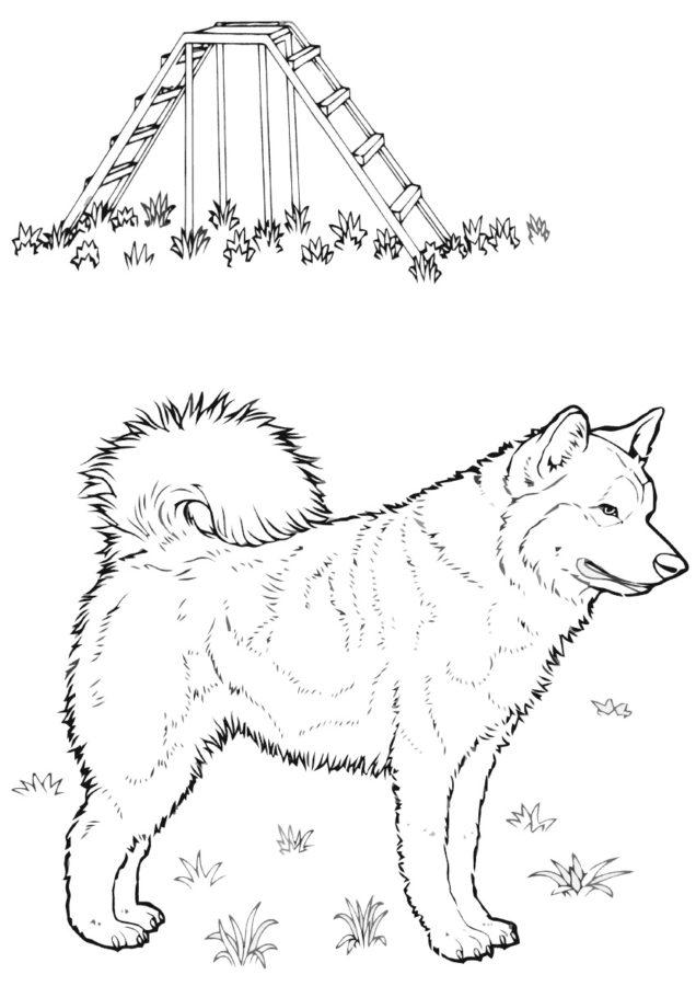 Раскраска собака Лайка