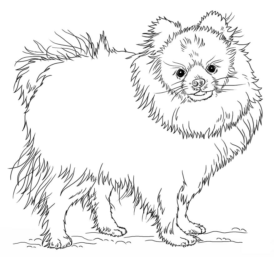 Раскраска собака шпиц