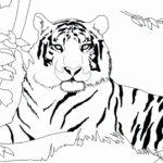 Амурский тигр раскраска