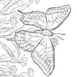 Бабочка махаон раскраска