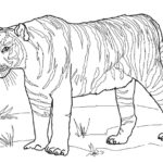 Бенгальский тигр раскраска