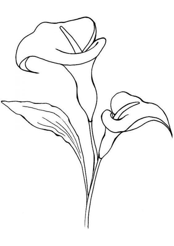 Цветы Каллы раскраска