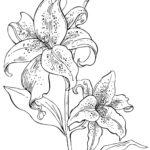 Лилия раскраска
