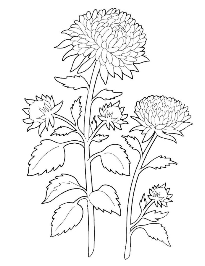Раскраска Астра цветок