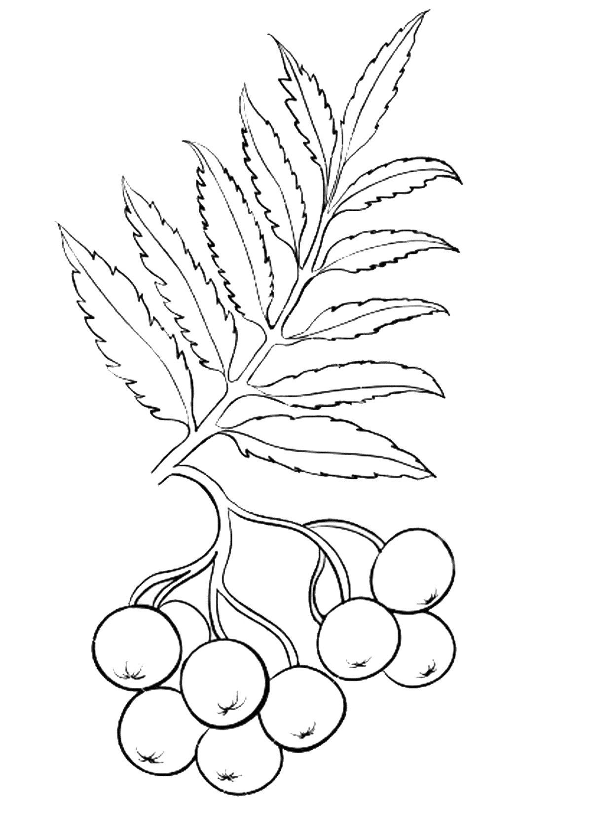 раскраска гроздь рябины распечатать своих коллекциях