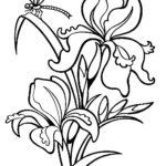 Раскраска Ирис цветок