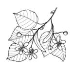 Раскраска лист липы