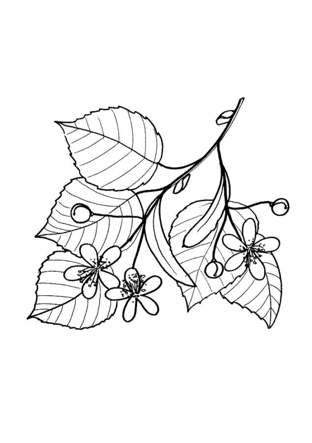 Лист и цветки липы