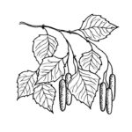 Раскраска листьев березы