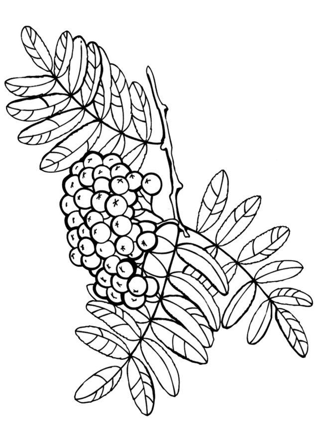 Раскраска листьев рябины