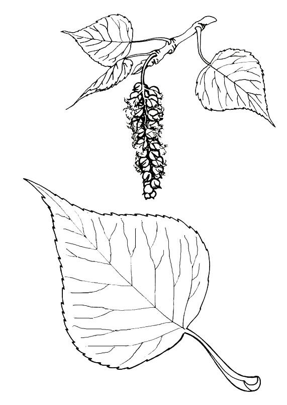 Раскраска листья тополя