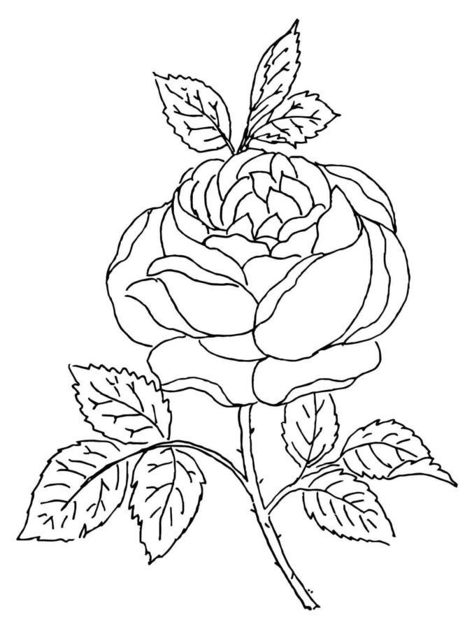 Раскраска цветок Роза