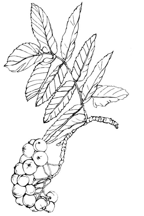 Раскраска рябины с ягодами