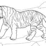 Раскраска тигр и тигрёнок
