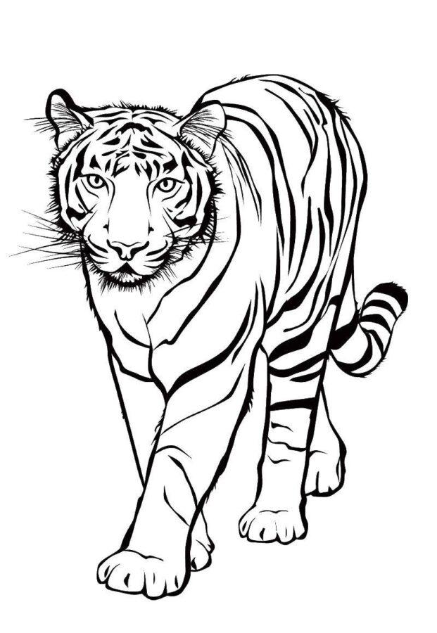 Раскраска тигрица