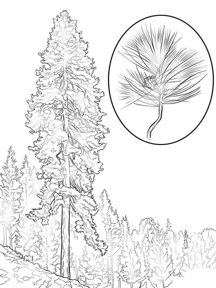 раскраска сосна дерево том, что