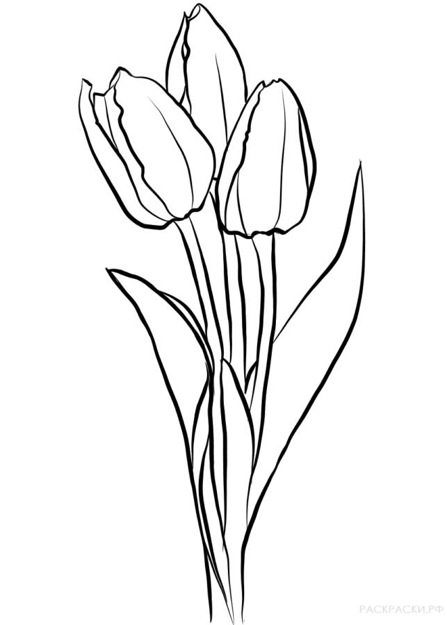 Тюльпан раскраска