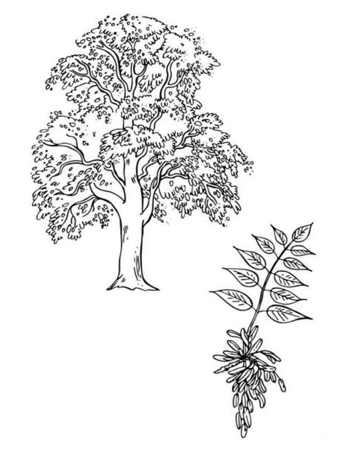 раскраска рябина дерево свесы мягкой