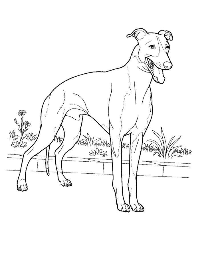 Раскраска собака Гончая