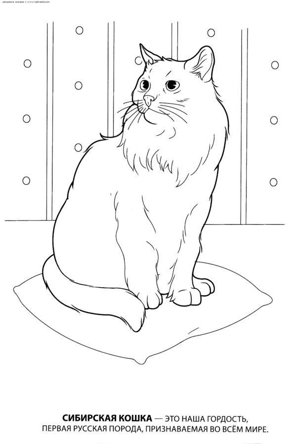 Раскраска Сибирская кошка