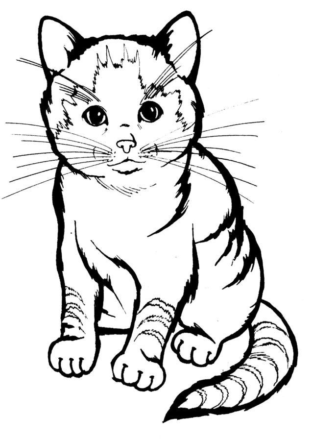 Раскраска Шотландская кошка