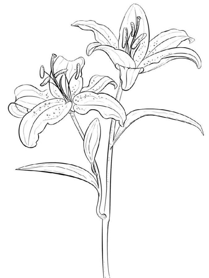 Цветок лилии раскраска