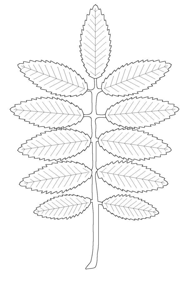 Лист рябины раскраска