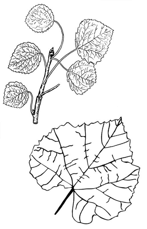 Листья осины раскраска