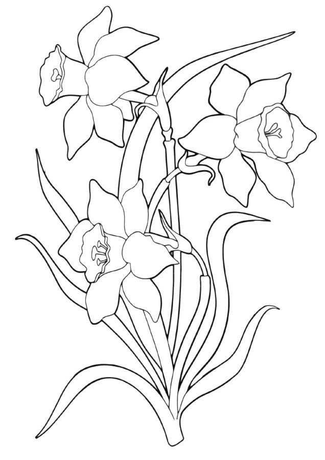 Нарцисс раскраска