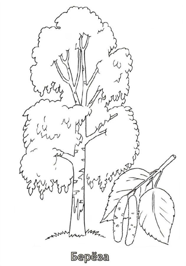 Раскраска дерева березы