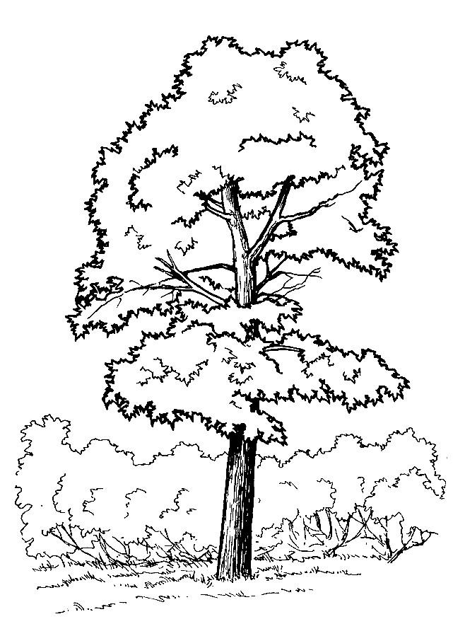 Раскраска дерева клена