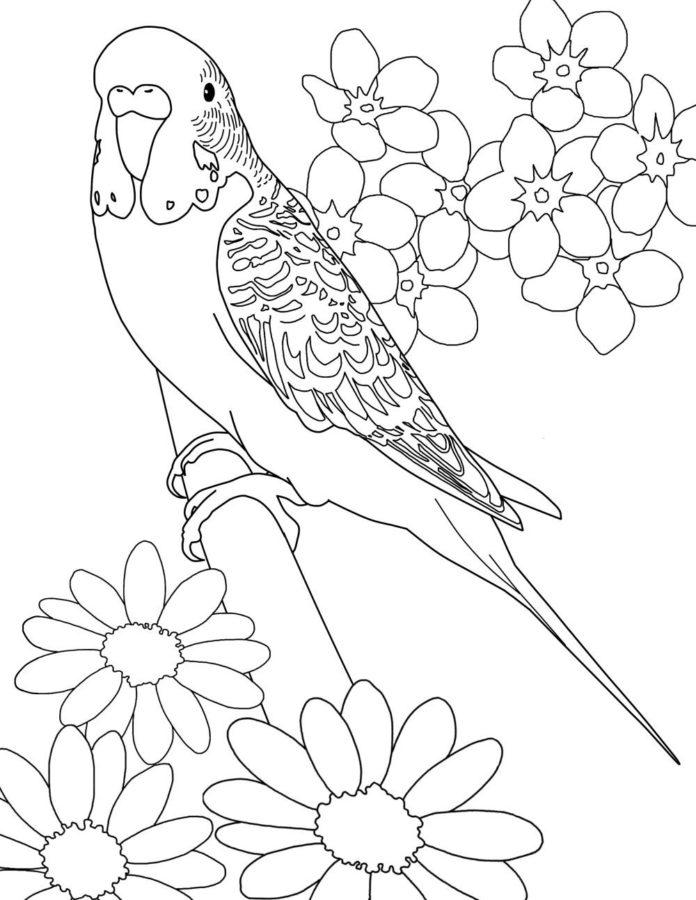 Волнистый попугай раскраска